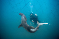 smooth hammerhead shark, Sphyrna zygaena, caught in submerged shark net, placed around beaches to reduce shark attacks on swimmers, maintained by KwaZulu-Natal Sharks Board and its scuba diver removing the dead shark from the net, Durban, KwaZulu-Natal, South Africa, Indian Ocean