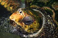 loggerhead turtle, Caretta caretta, detail of head, San Diego, California