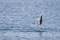 pelagic thresher shark, Alopias pelagicus, adult, leaping with remoras attached, San Marcos, Baja California Sur, Mexico, Sea of Cortez, Gulf of California, Pacific Ocean
