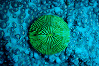 Fluorescence light of a Mushroom Coral, Madreporaria, Fungia sp., Indonesia, Indian Ocean, Komodo National Park