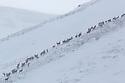 Red Deer herd {Cervus elaphus} moving over mountain ridge in heavy snow. Cairngorms National Park, Scotland. January.