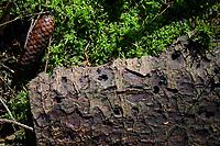 GERMANY, lower saxonia, Forest, fir tree with Bark beetle infestation  / DEUTSCHLAND, Niedersachsen, Fichtenwald, Baumschädlinge, Borkenkäfer und Wurm Befall