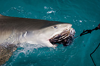 Tiger shark attacking bait at the surface. Galeocerdo cuvier.