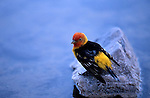 Western tanager, Piranga ludoviciana, Bad Water, Death Valley National Park, California
