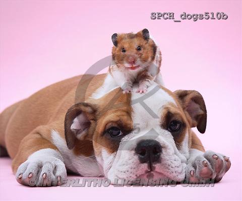 Xavier, ANIMALS, dogs, photos(SPCHdogs510b,#A#) Hunde, perros