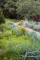 Gravel path along California meadow garden with clipped green Moor grass (Sesleria autumnalis), and gray foliage wild rye (Leymus condensatus), David Fross