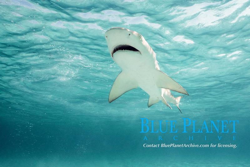 juvenile lemon shark, Negaprion brevirostris, approx. 3-4 years old, Bahamas, Caribbean Sea, Atlantic Ocean