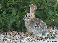 0228-1207  Desert Cottontail Rabbit (Audubons Cottontail), Sylvilagus audubonii  © David Kuhn/Dwight Kuhn Photography