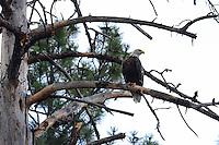 Aug. 14, 2012; Wood Canyon Lake trees forest bird bald eagle  Mandatory Credit: Mark J. Rebilas