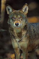 Red Wolf. Endangered species.  Southeastern U.S.A. Canis rufus