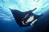giant oceanic manta ray, Mobula birostris, formerly Manta birostris, with remoras, The Boiler, San Benedicto Island, Revillagigedos Islands, Mexico, Pacific Ocean