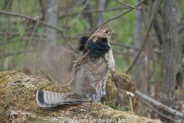 Ruffed grouse (Bonasa umbellus) in a courtship display