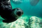 Curious sea otter, Enhydra lutris, Seattle Aquarium, Seattle, Washington State, Pacific Northwest,.