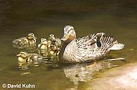 0217-1202  Female Mallard with Ducklings, Anas platyrhynchos  © David Kuhn/Dwight Kuhn Photography
