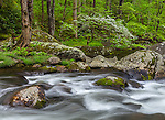 Great Smoky Mountains National Park, Tennessee: Flowering dogwood on the far banks of the Middle Prong Little River in spring