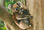 Koala and Young, Australia<br /> Colorful French postcard<br /> 5 x 7 in.<br /> Watermark does not appear on product