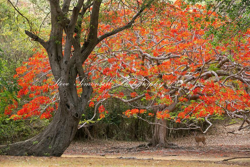 Flamboyant tree and deer<br /> Caneel Bay Resort<br /> Virgin Islands National Park<br /> St. John<br /> US Virgin Islands