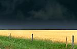 Wheat fields, Twin Buttes region, Alberta, Canada