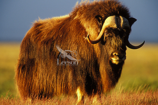 Muskox bull lit by early morning light (about 3.30 a.m.) in Arctic National Wildlife Refuge, Alaska.  July.