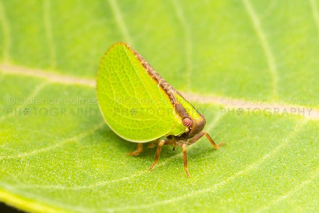 Two-striped Planthopper (Acanalonia bivittata)