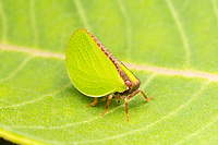 Two-striped Planthopper (Acanalonia bivittata)