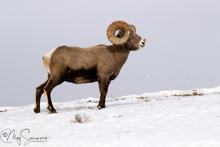"""Big horn rams (Ovis canadensis)horns will grow into a full circle and beyond if they are not broken in fighting. A """"full curl"""" is considered quite an accomplishment for a mature ram. Soda Butte Creek confluence with Lamar River, Yellowstone"""