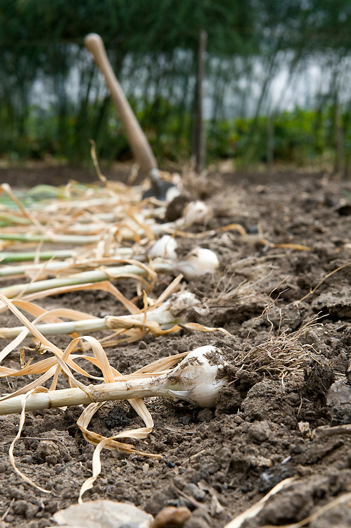 Lay garlic on the ground to dry in the sun for a few days before bringing it indoors to store. Mid July.