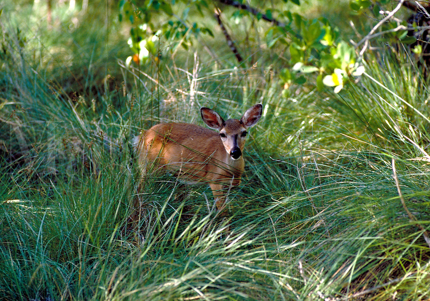 YOUNG KEY DEER PEERS OUT OF GRASSY AREA CHECKING FOR DANGER. ENDANGERED SPECIES, ECOLOGY, ENVIRONMENT,. NO NAME KEY FL.