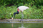 Jabiru stork (Jabiru mycteria) catching a fish (Pacu) on the edge of the Paraguay River. Taiama Ecological Reserve, Pantanal, Brazil, South America.