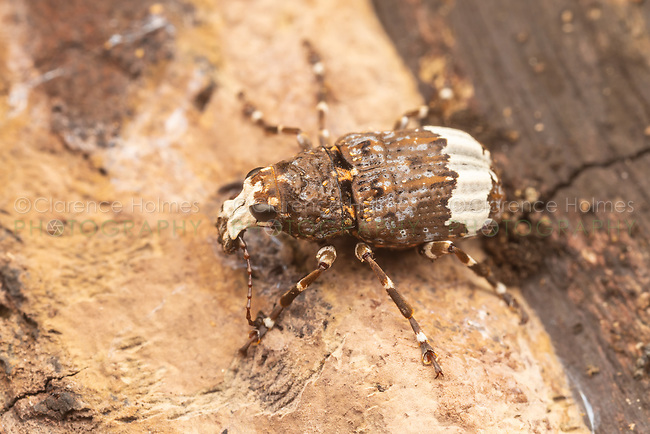 A Fungus Weevil (Eurymycter fasciatus) explores the surface of a dead tree.