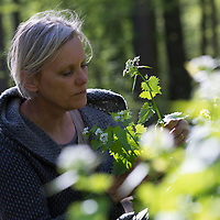 Knoblauchsrauke-Ernte, Kräuterernte, Frau in einem Bestand von Knoblauchsrauke in einem Wald, Kräuter sammeln, Knoblauchsrauke, Gewöhnliche Knoblauchsrauke, Knoblauchrauke, Knoblauch-Rauke, Knoblauchs-Rauke, Lauchkraut, Knoblauchskraut, Knoblauchhederich, Knoblauchshederich, Alliaria petiolata, Hedge Garlic, Jack-by-the-Hedge, Garlic Mustard, garlic root, Alliaire, L'Alliaire officinale, Herbe à ail