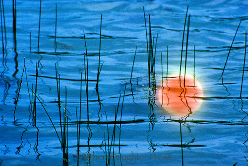 orange Sunset reflected in the ripples of water and pierced by reeds