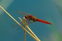 Feuerlibelle, Männchen, Feuer-Libelle, Crocothemis erythraea, Croccothemis erythraea, Broad Scarlet, Common Scarlet-darter, Scarlet Darter, Scarlet Dragonfly