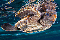 Loggerhead turtle hatchling, Caretta caretta, Bahamas, Caribbean, Atlantic