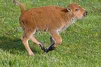 Young American Bison calf (Bison bison) running/playing.  Yellowstone National Park, spring.
