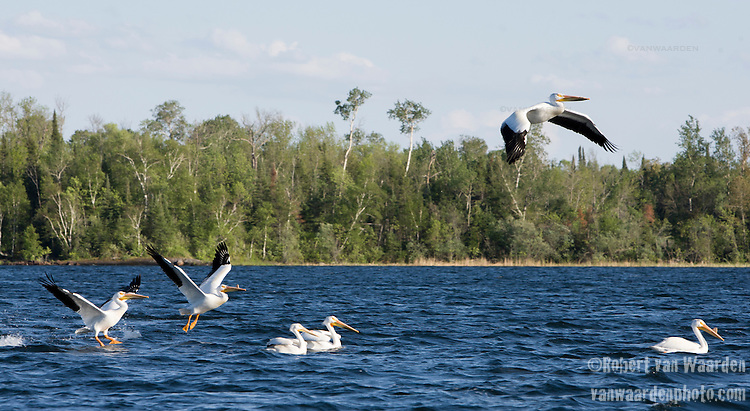 Pelicans take flight on Shoal lake on the Manitoba/Ontario border. For the last 100 years the city of Winnipeg has stolen its' water from the Shoal Lake First Nations and there is a long standing battle going on. However, the introduction of the Energy East pipeline proposal means that the watershed that supplies a city of one million people could be affected by any spill in the area. (Credit: Robert van Waarden - http://alongthepipeline.com)