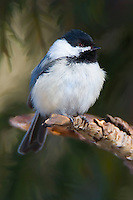 Black-capped chickadee perched on the branch of a pine tree