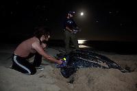 Endangered Leatherback Turtle.nesting at Sandy Point Wildlife  Refuge.Researchers taking data and scanning for pit tags.St Croix, U.S. Virgin Islands
