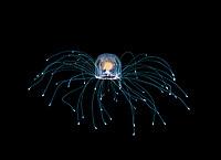 immortal jellyfish, Turritopsis sp., photographed during a blackwater dive off Palm Beach, Florida, USA, Atlatnic Ocean