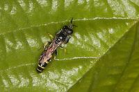 Silbermundwespe, Silbermund-Wespe, Grabwespe, Crabro peltarius, Männchen mit Verbreiterung der Vorderbeinschienen, slender-bodied digger wasp