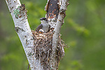 Eastern kingbird and chicks in a birch snag.