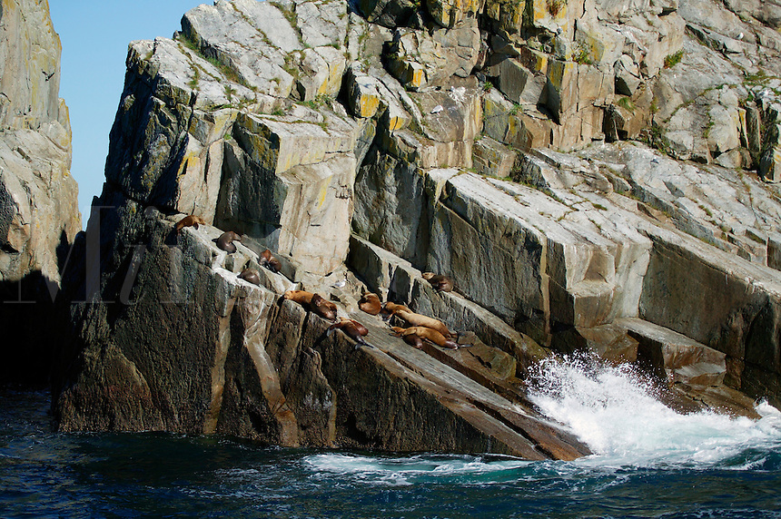 Steller (Northern) Sealions at the Chiswell Islands and Alaska Maritime National Wildlife Refuge, Aialik Bay, Kenai Fjords National Park, Alaska