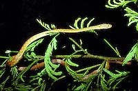 Brown tree snake climbing in tangantangan, Guam