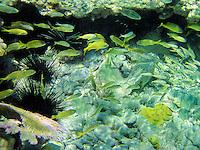 Grunt fish and sea urchins. St. John. Virgin Islands Virgin IslandsVirgin Islands Coral Reef National Monument.