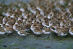 Western Sandpipers resting together on shore