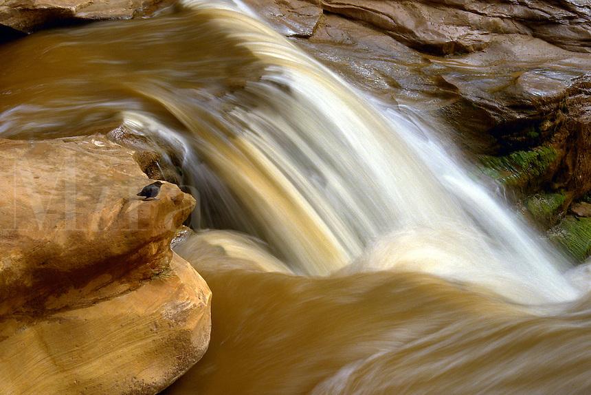 Dipper on rock edge in a waterfall, red water, flash flood, Capitol Reef National Park, Utah. Utah, Capitol Reef National Park.