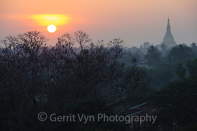 Indian Flying Fox and budhist temple at sunset. Sittwe, Rakhine State, Myanmar. January.