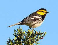 Adult male golden-cheeked warbler. Our guide Rich Kostecke of the Nature Conservancy unit at Ft Hood called this bird up and he put on a great show for us.
