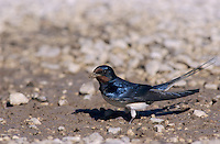 Barn Swallow, Hirundo rustica,adult collecting nesting material (Mud) on Gravel Road , Denja, Spain, Europe