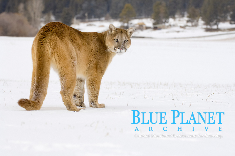 Puma (Felis concolor), adult standing in snow, looking back, USA, America, North America